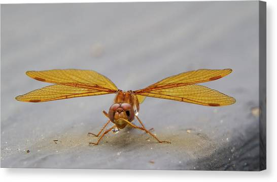 Dragon Fly Hanging Around Canvas Print
