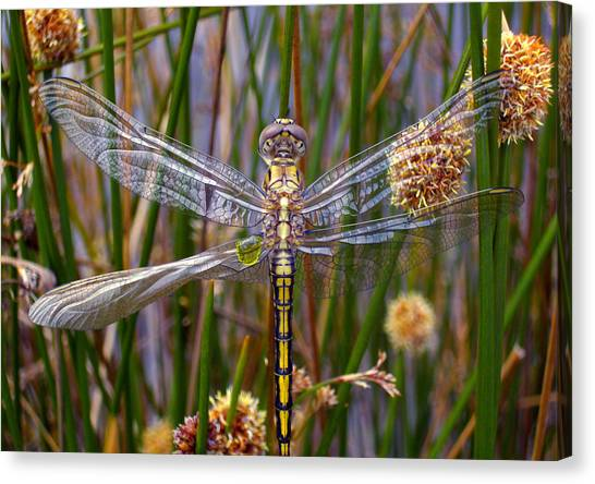 Dragonfly Canvas Print - Dragonfly by Alison Lee  Cousland