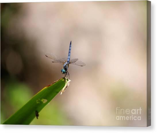 Little Things Canvas Print - Dragonfly Doing A Handstand by Jeff Swan