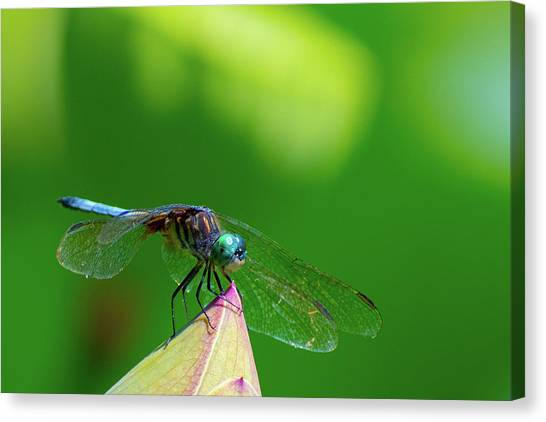 Dragonfly On Lotus Bud Canvas Print