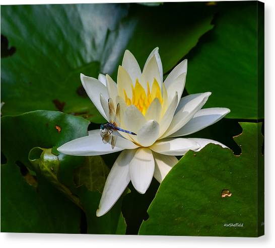 Dragonfly On Waterlily  Canvas Print