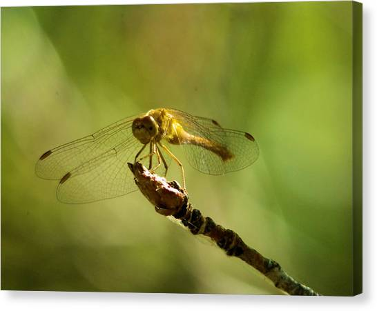 Little Things Canvas Print - Dragonfly Perched by Jeff Swan