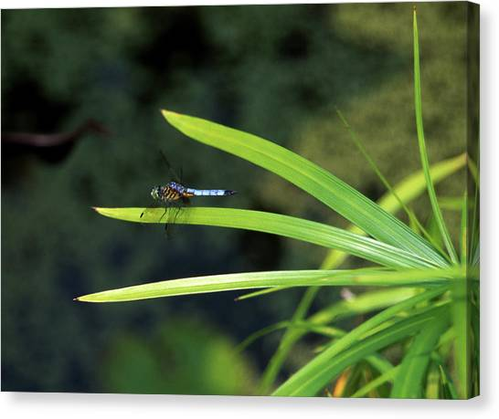Dragons Fly Canvas Print