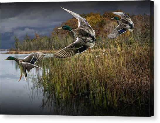 Drake Mallard Ducks Coming In For A Landing Canvas Print