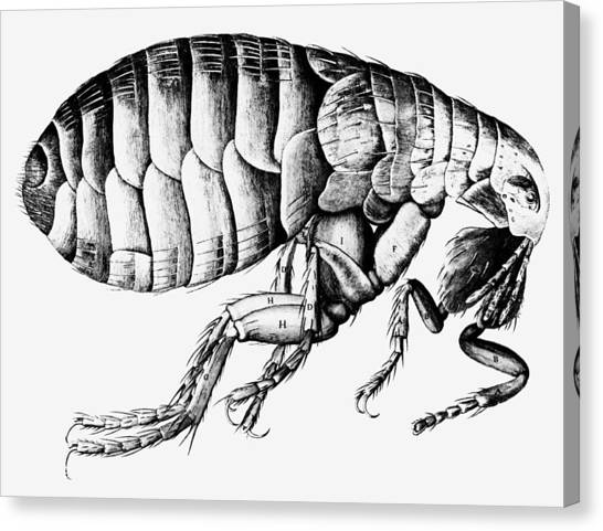 Drawing Of A Flea Canvas Print by