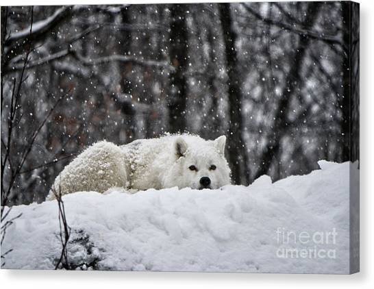 Arctic Wolf Canvas Print - Dreams Of Warmer Weather by Heather King