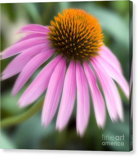 Dreamy Coneflower Canvas Print by Jeannie Burleson
