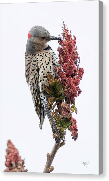 Northern Flicker Canvas Print - Dress To Kill by Everet Regal
