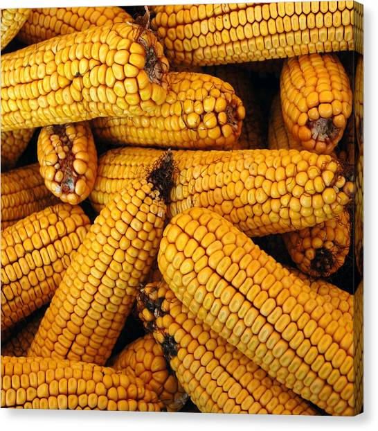 Dried Corn Cobs Canvas Print