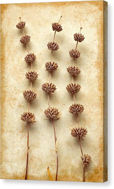 Dried Sage Canvas Print