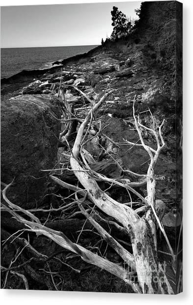 Driftwood Tree, La Verna Preserve, Bristol, Maine  -20999-30003 Canvas Print