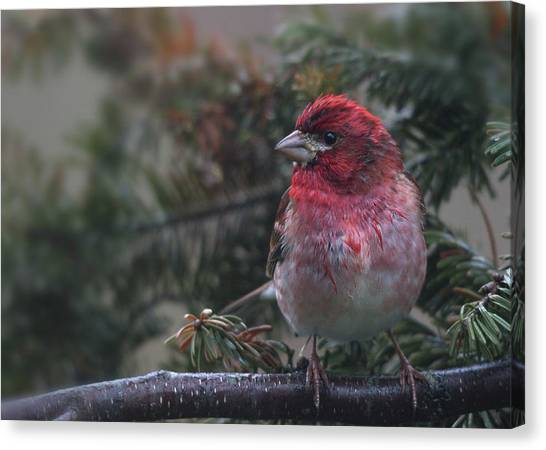 Finches Canvas Print - Drizzled Finch by Susan Capuano