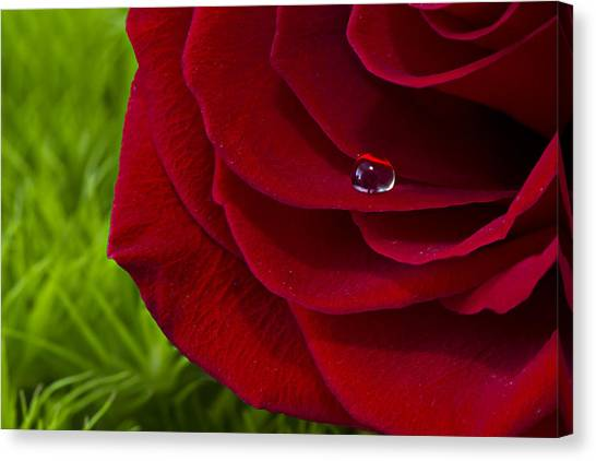 Drop On A Rose Canvas Print