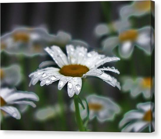 Droplets On Daisies Canvas Print by Emily Michaud