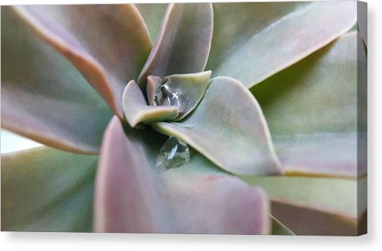 Droplets On Succulent Canvas Print
