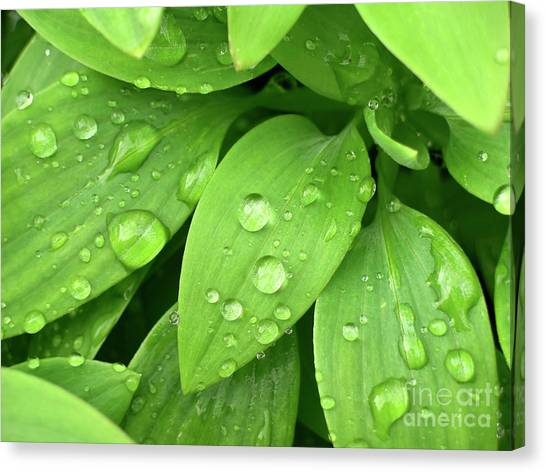 Rain Canvas Print - Drops On Leaves by Carlos Caetano