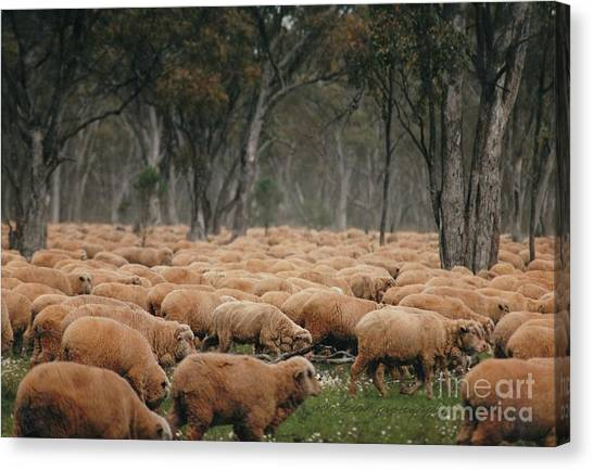 Droving Sheep  At Albert Australia Canvas Print