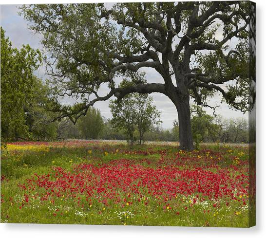 Canvas Print featuring the photograph Drummonds Phlox Meadow Near Leming Texas by Tim Fitzharris