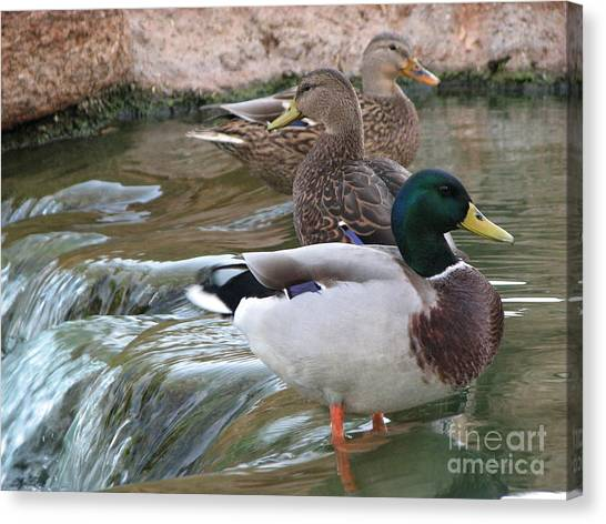 Duck Fall Canvas Print