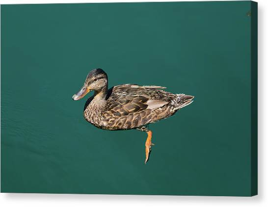 Canvas Print featuring the photograph Duck Floats by Davor Zerjav