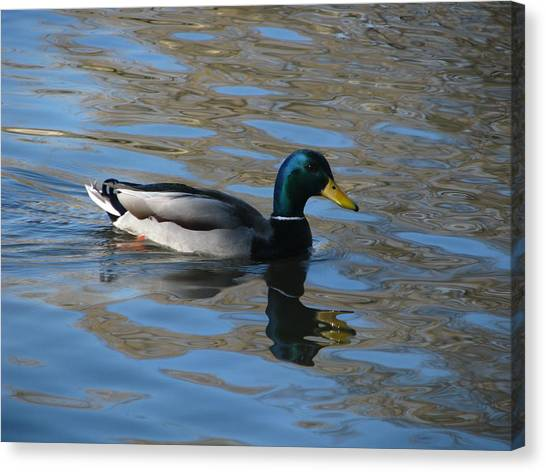 Duck Mallard Duck Canvas Print by Hasani Blue
