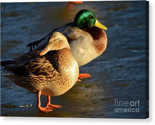 Duck Pair Sunbathing On Frozen Lake Canvas Print