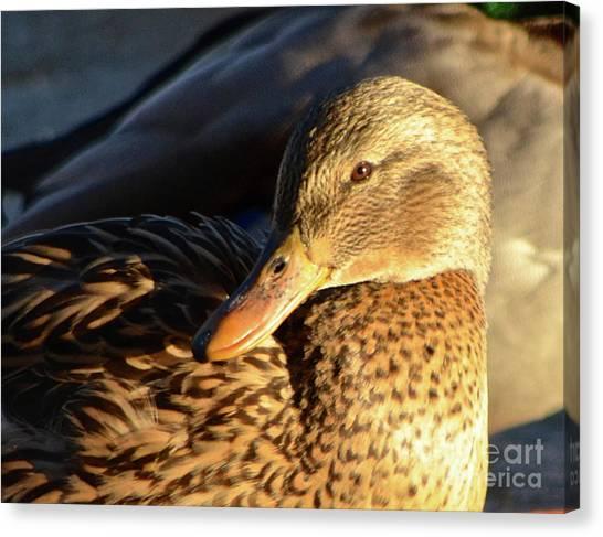 Duck Sunbathing Canvas Print