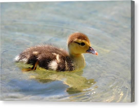 Duckling 7 Canvas Print