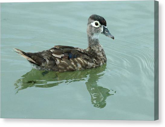 Duckling Canvas Print by Teresa Blanton
