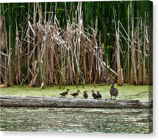 Ducks All In A Row Canvas Print
