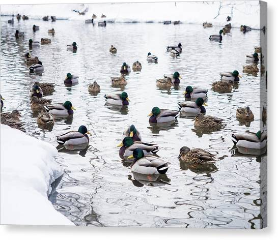 Ducks Swimming By Snowy Shore Canvas Print