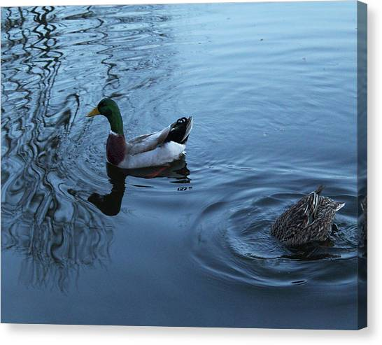 Mallard Duck Canvas Print