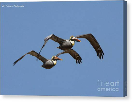 Duel Pelicans In Flight Canvas Print