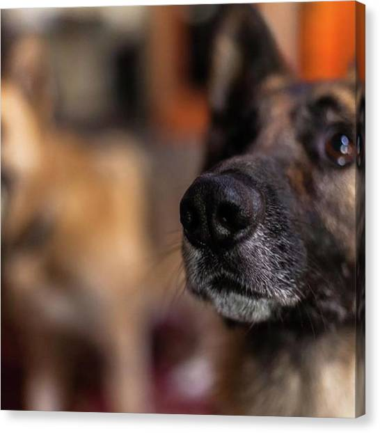 German Shepherds Canvas Print - Duke And Max!  #amazing #german by Jerry Renville