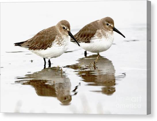 Dunlin Seeing Double Canvas Print