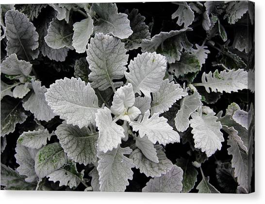 Dusty Miller Canvas Print