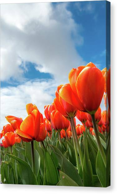 Dutch Tulips Near Keukenhof Canvas Print