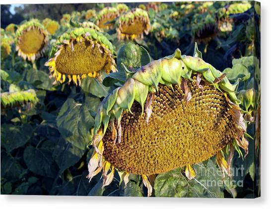 Dying Sunflowers In Field Canvas Print by Sami Sarkis