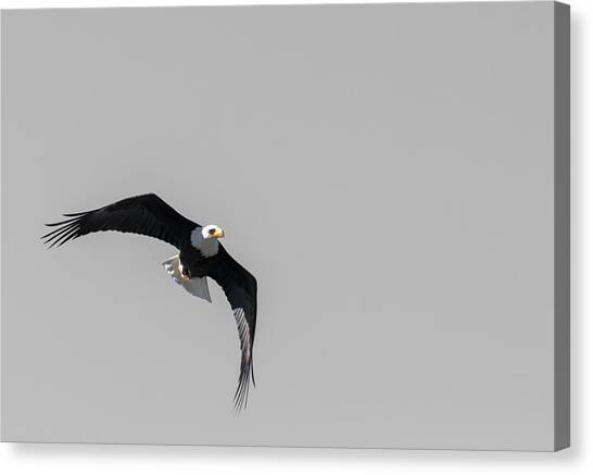 Bald Eagle Flight Canvas Print