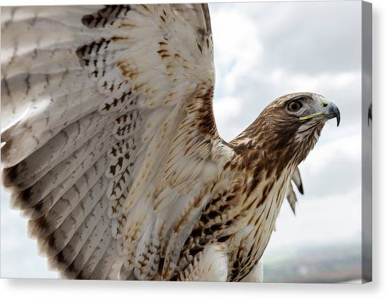 Eagle Going Hunting Canvas Print