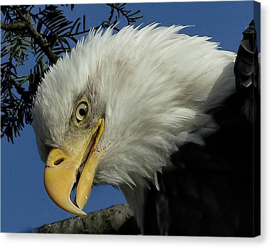 Eagle Head Canvas Print
