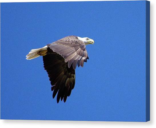 Eagle In Flight Canvas Print by Don Youngclaus