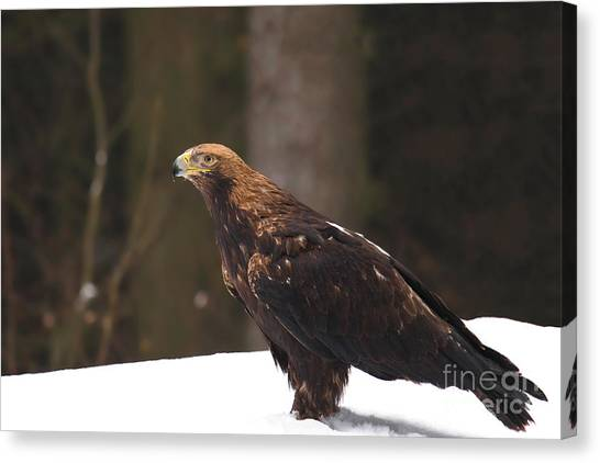 Eagle In The Snow Canvas Print