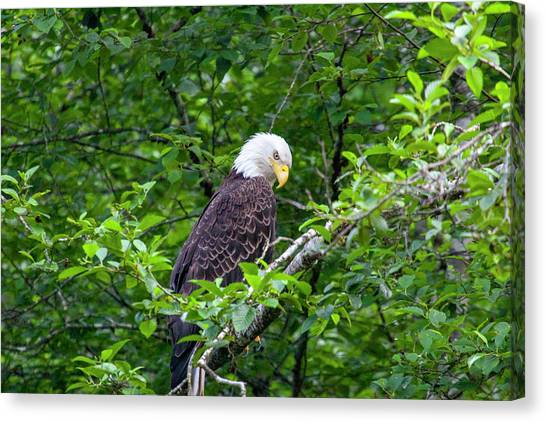 Eagle In The Tree Canvas Print