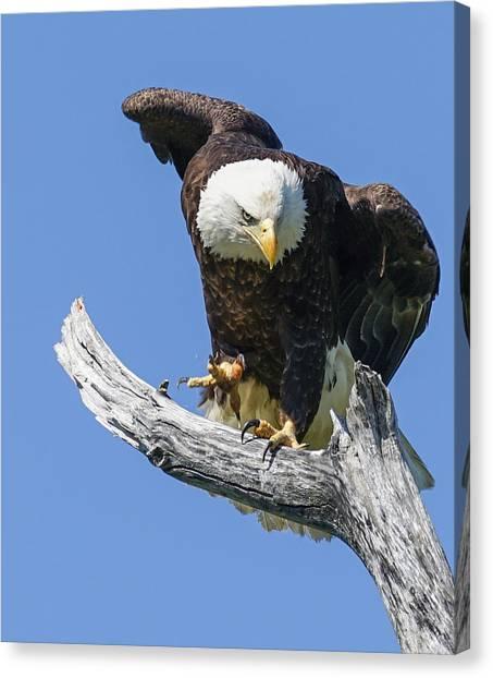 Eagle Landing Canvas Print by Denise McKay