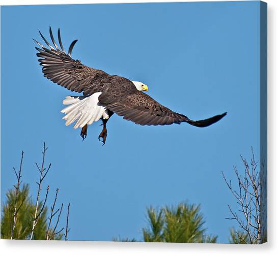 Eagle Launch Canvas Print