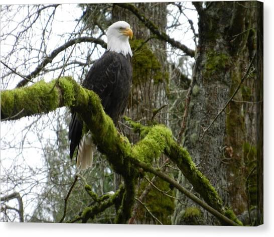 Eagle On A Mossy Limb Canvas Print