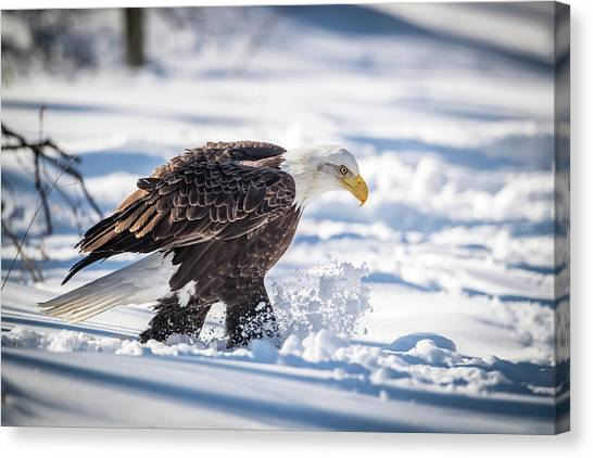 Eagle In Flight Canvas Print - Eagle Out For A Stroll by Paul Freidlund