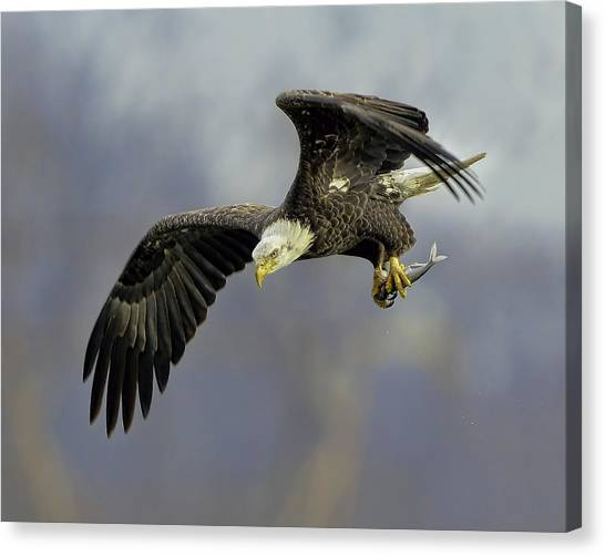 Eagle Power Dive Canvas Print