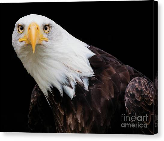 Eagle Stare Canvas Print